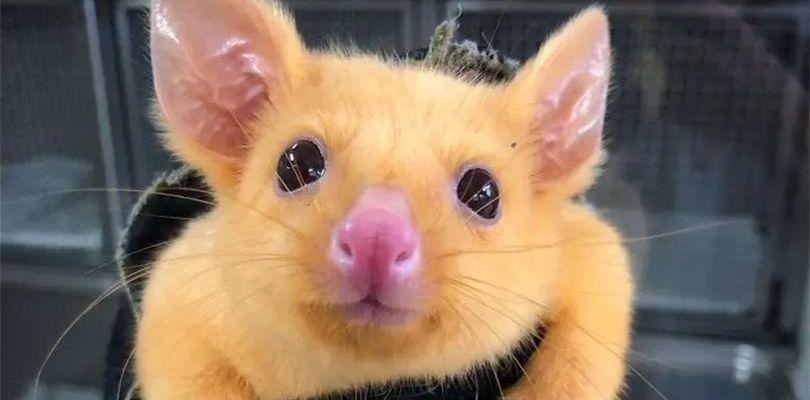 Pikachu esiste davvero ed è un opossum australiano con una mutazione genetica