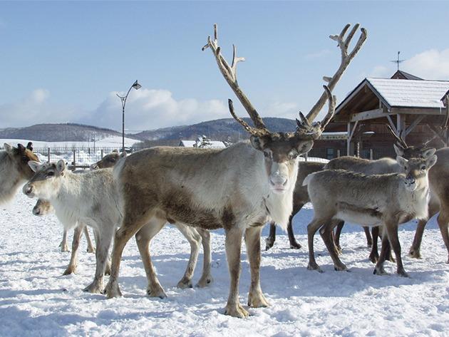 renne dell'Hokkaido